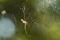 Spider on cobweb Royalty Free Stock Photos