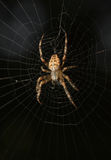 Spider in cobweb Stock Images