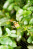 Spider on cobweb over buxus leaves Stock Image