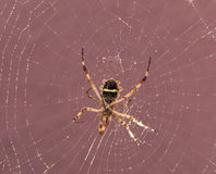 Spider on cobweb Stock Image