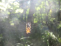 Spider in a cobweb Royalty Free Stock Images