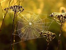 Spider cobweb in the sunlight. Spiders web in the early, misty, autumnal morning. Shot at the sunrise, golden meadow in the background Stock Image