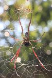 Spider on cobweb Stock Photography