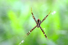 Spider and Cobweb Royalty Free Stock Photography