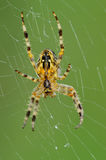 Spider. On cobweb waiting for prey Stock Photo