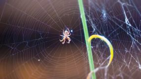 Spider in Cobweb or Web. A spider waiting for its prey in a cobweb made with spider owns silk Stock Image