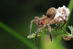 Spider with a cocoon. Royalty Free Stock Image