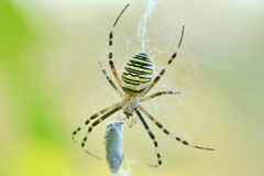Spider cocoon  Stock Photography