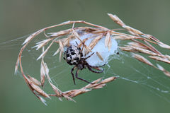Spider with cocoon Stock Images