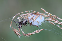 Spider with cocoon Royalty Free Stock Photos