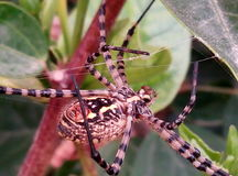 Spider. Colorful spider on his web walking and crawling very beatiful Royalty Free Stock Images