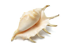 Spider Conch Seashell. On White Background Stock Images
