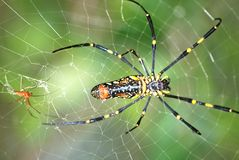 Spider couple royalty free stock images