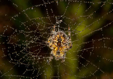 Spider covered with dew Stock Images