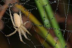 Spider covered with dew Stock Photography