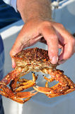 Spider Crab Stock Photos