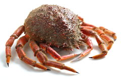 Spider crab Stock Photography