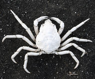 Spider crab. White spider crab, sunbleached, on black sand in Iceland. A crustacean, part of the family Majoidea Royalty Free Stock Images