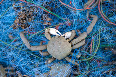 Spider crab Royalty Free Stock Photography
