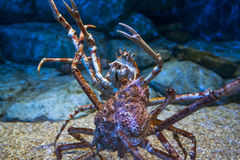 Spider Crab. Deep water giant spider crab stock photo