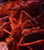 Spider crab. Giant spider crab emerging from the sea between rocks on the sea shore stock photography