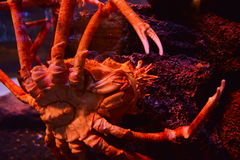 Spider crab Royalty Free Stock Photos