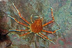 Spider crab inside the aquarium Stock Photo