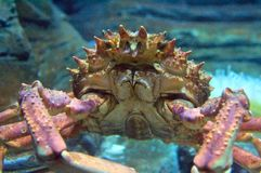 Spider Crab (Maja squinado) Stock Photos