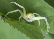 Spider-crab  (Misumena vatia). Misumena vatia is a wonderful hunter, perfectly adapted to hunting on insect pollinators visiting flowers Stock Photos