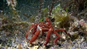 Spider crab sp4  in the night Lembeh strait Indonesia stock video footage
