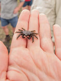 Spider Crab Royalty Free Stock Photo