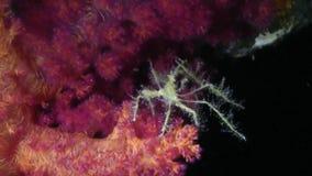Spider crab walking around pink soft coral stock video
