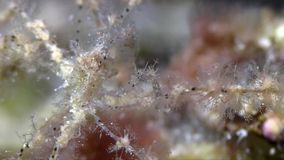Spider crab was found during night dive stock footage
