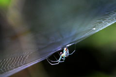 Spider crawling under a web. Immature Araneomorphae spider. These are common to the southern United States Royalty Free Stock Photography