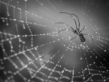 Spider on dew covered web. Spider crawling on a web with droplets of dew.  Black and white finish Royalty Free Stock Image