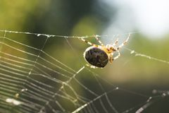 Spider crawling on the web stock photography
