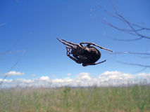 Spider. The spider crawls against the sky Stock Photos
