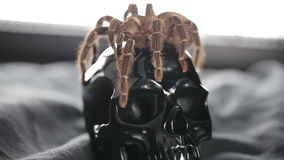 The spider crawls and sits on the skull. The big spider crawls on a black shiny skull stock footage