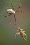 Spider and cricket. A female argiope spider is approaching a cricket caught in her web royalty free stock photography