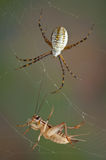 Spider and cricket in web. A female argiope spider is approaching a cricket caught in her web royalty free stock photos