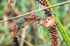 Spider. Cross Orbweaver (Araneus diadematus) eating grasshoper. Spider on the green leaf. Macro closeup royalty free stock photography
