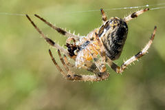 Spider. Cross Orbweaver (Araneus diadematus) eating some insect hanging on the its web. Macro closeup royalty free stock image