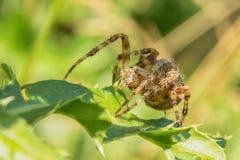 Spider. Cross Orbweaver (Araneus diadematus). Spider on the green leaf. Macro closeup stock photo