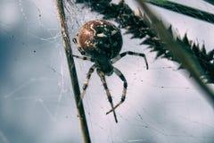 Spider macro. Cross Orbweaver (Araneus diadematus) on the its web. Macro closeup stock photo