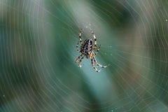 Spider. Cross Orbweaver (Araneus diadematus) on the spidernweb. Macro closeup stock photos