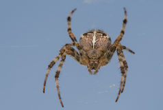 Spider Cross Stock Photography