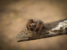 Spider crusader Royalty Free Stock Photography