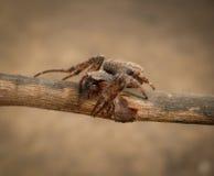 Spider crusader Stock Image