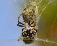 Spider cyrtophora citricola around  its egg sac Royalty Free Stock Image