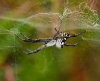 Spider cyrtophora citricola subject to its cobweb Royalty Free Stock Photography